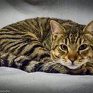 Marco the cat by Kostas Koutsoukanidis