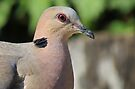A turtle dove  by Elizabeth Kendall