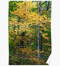 FALL COLOR AND SYCAMORE Poster