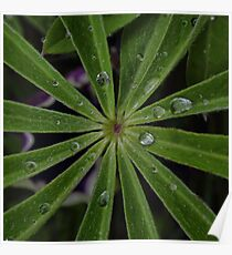 Wet lupin leaf Poster