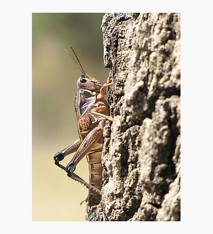 Plains Lubber Grasshopper ~ Female Photographic Print