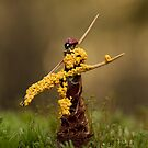 Nectria cinnabarina by Glynn May