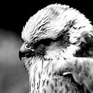 A Saker Falcon in B&W by Trevor Kersley