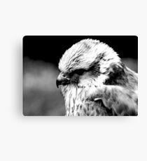 A Saker Falcon in B&W Canvas Print