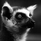 Lemur Portrait by Jon Staniland