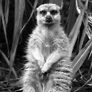 Meerkat Posing  by Jon Staniland