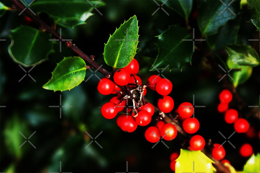 Little red holly berries.... by DDLeach