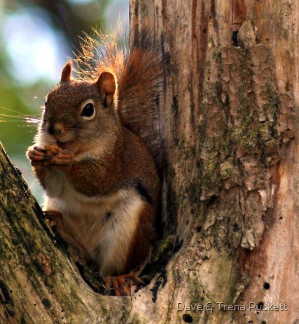 Cute Little Squirrel by Dave & Trena Puckett