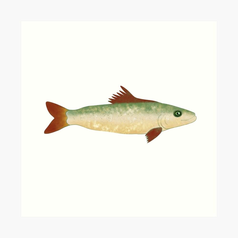 Trout Fish Illustration  Art Print