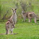 The Kangaroos of Hill End NSW by Bev Woodman