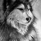 Husky snow storm by Danny Pettinger