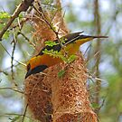 Spectacled Weaver & Nest, Tarangire NP, Tanzania, Africa by Adrian Paul