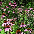 Cone Flowers in the Woods  by lorilee