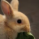 """""""Lunch Time"""" - baby Rabbit by Sophie Lapsley"""