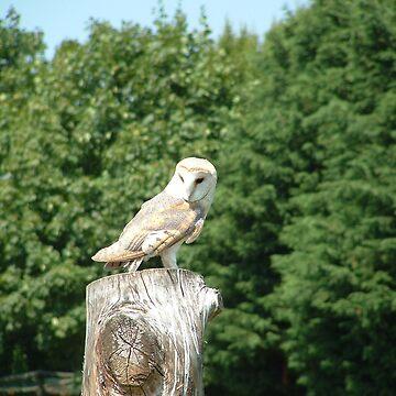 Barn Owl by dizzyg
