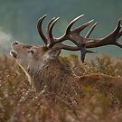 Red Deer Stag by Val Saxby