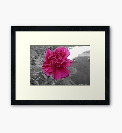 Rose in Selective Color Framed Print