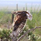 """""""Angel wings"""" Ferruginous Hawk by Sherry Pundt"""