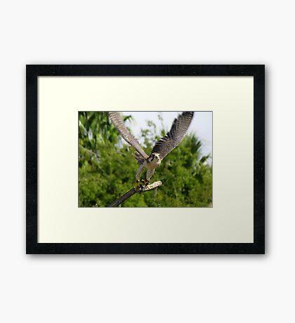 Prairie Falcon ~ Captive Framed Print
