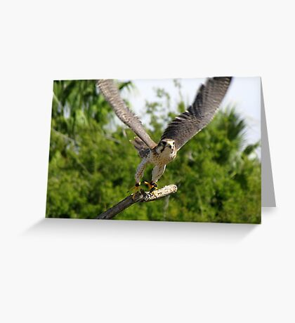 Prairie Falcon ~ Captive Greeting Card
