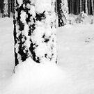 Scots Pine in the Snow, Dunwich Forest, Suffolk by shutternutter