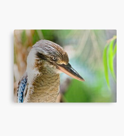 Blue winged kookaburra  Metal Print