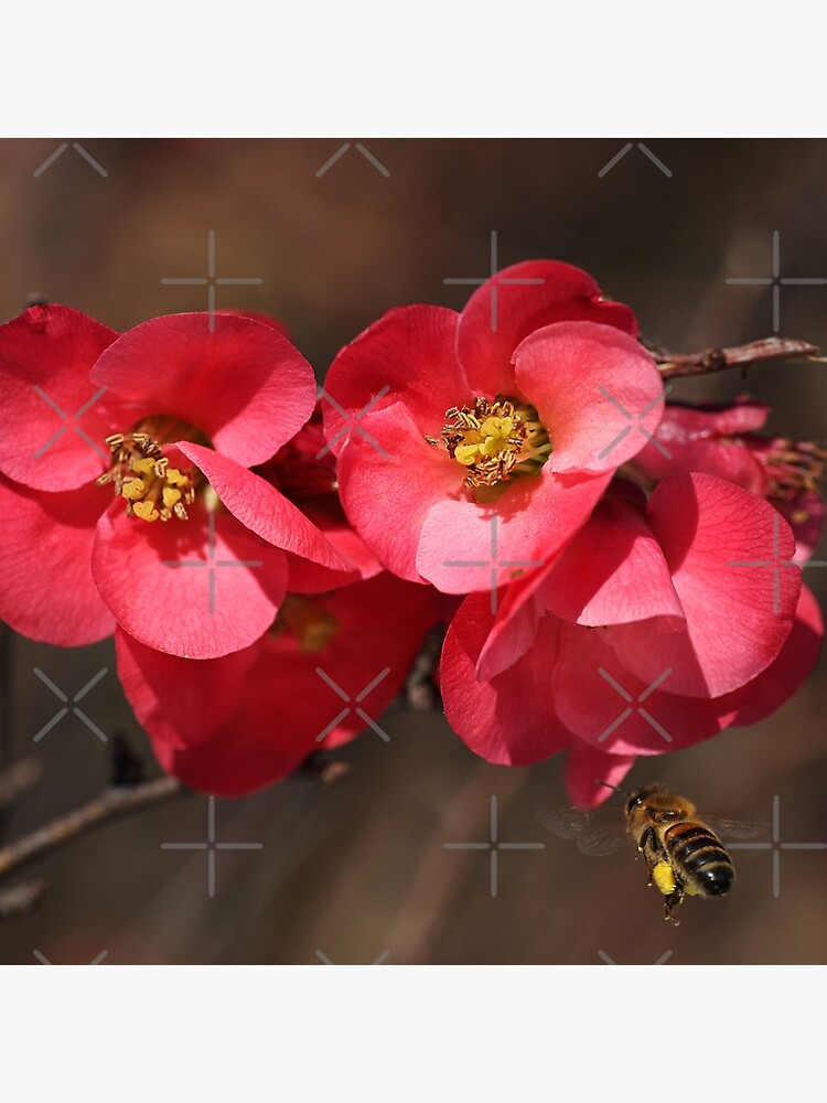 Yum - Flowering Quince by bubbleblue