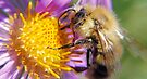 Bumble Bee 1 - Macro by Debbie Pinard