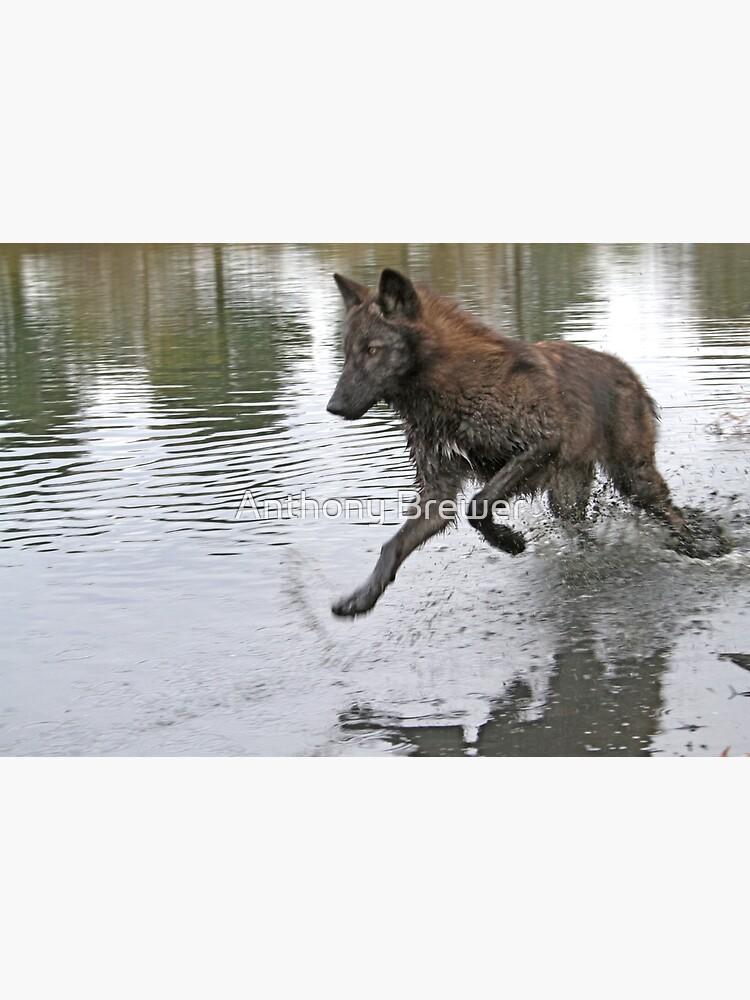 Making a splash, wolf style by dailyanimals