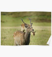 Young Stag at Arne Poster