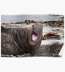 Bull Elephant Seal - Sea Lion Island West Falkland Poster