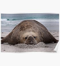 Flop! Bull Elephant Seal - Sea Lion Island West Falkland Poster