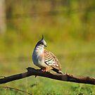 Crested Pigeon In Our Back Paddock. Brisbane, Queensland, Australia. by Ralph de Zilva
