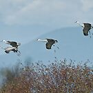 Sandhill Cranes Coming In by David Friederich