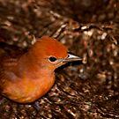 Red Bird! by vasu
