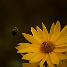 Bee and daisy! by vasu