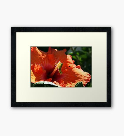 Baby Grasshopper in Hibiscus Framed Print