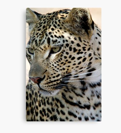 Maxabene 3:3 Young Male Leopard Canvas Print