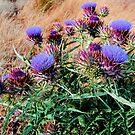 Scotch Thistles  >> by JuliaWright