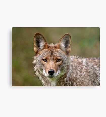 Coyote Portrait  Metal Print