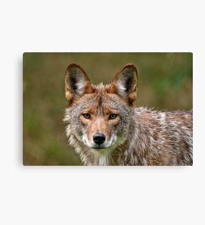 Coyote Portrait  Canvas Print