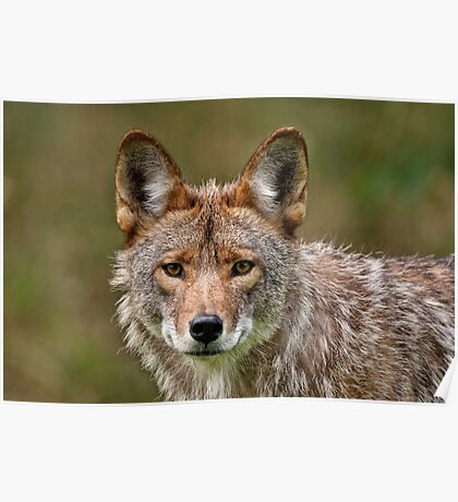 Coyote Portrait  Poster