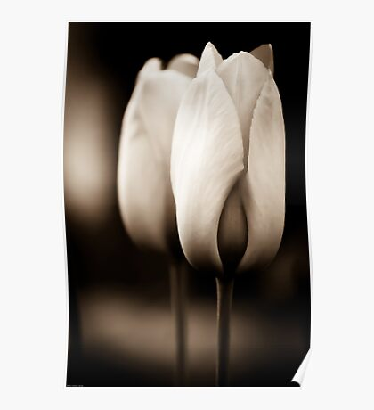 Tulips in Sepia Poster
