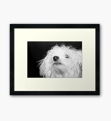Maltese Pup Framed Print