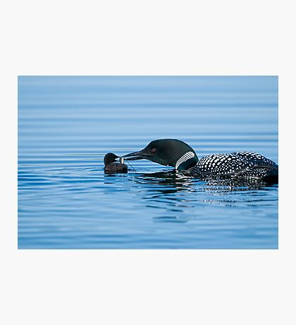 Loon feeding Baby - Mississippi Lake Photographic Print