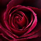 """""""Red Rose Swirl"""" by Sophie Lapsley"""