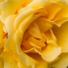 """""""Yellow Perfection"""" - yellow rose by Sophie Lapsley"""