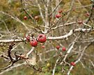 Berries and Twigs by sionii