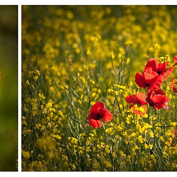 Poppy diptych by RedRose
