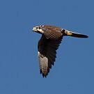 Prarie Falcon by tomryan